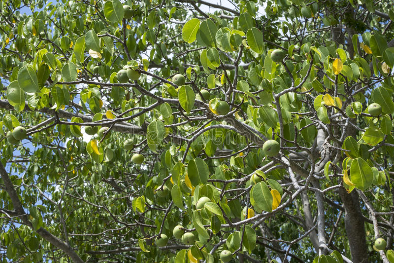 The Most Poisonous Tree in the World