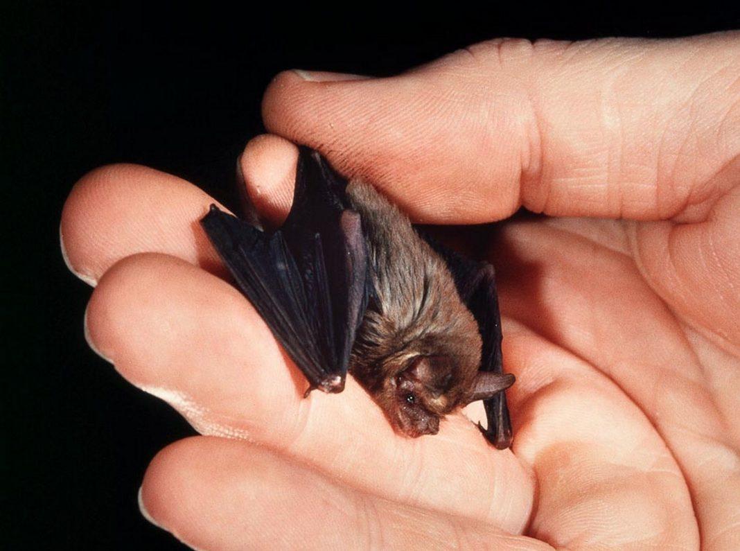 Kitti's hog-nosed bat