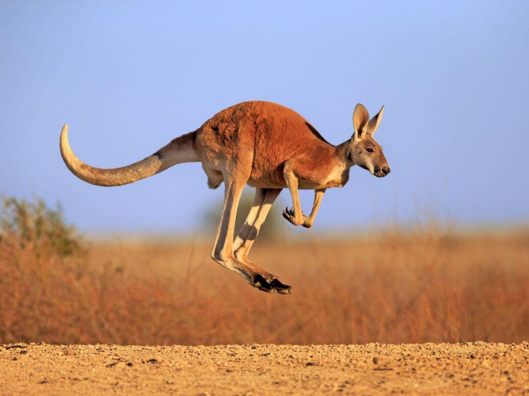 Largest Kangaroo in the World