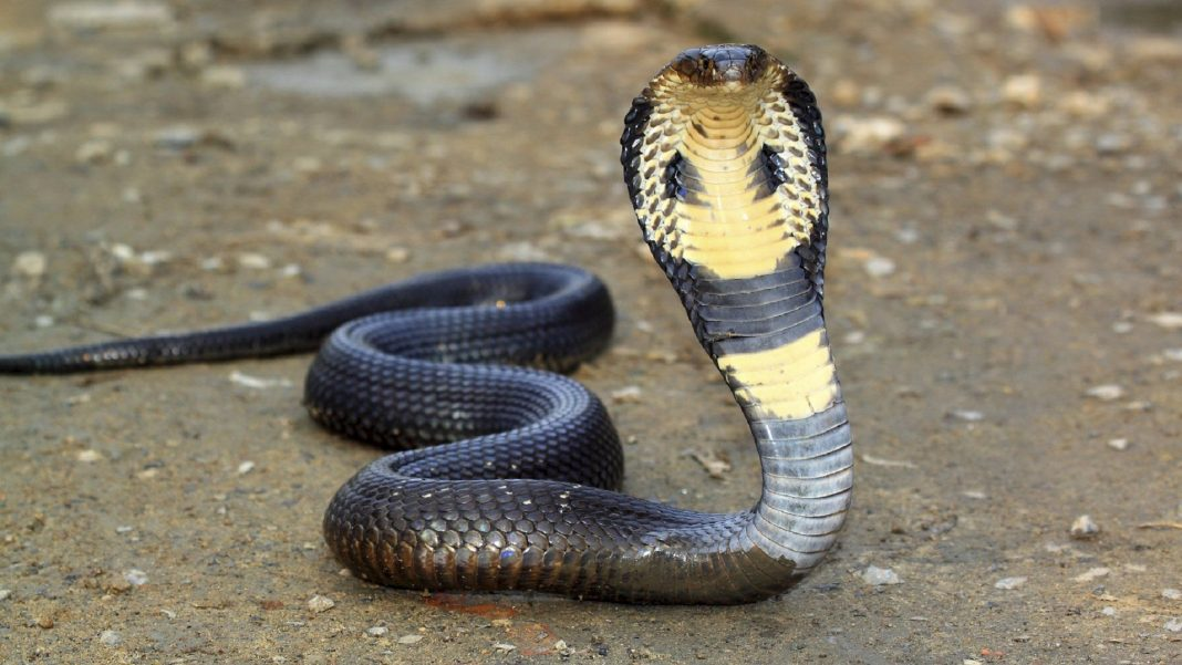 Biggest King Cobra in the World